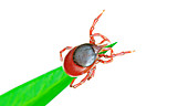 Illustration of a tick on a blade of grass