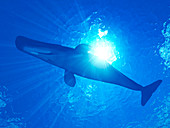 Illustration of sperm whale