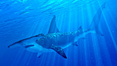 Illustration of a hammerhead shark