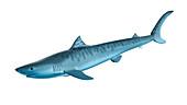 Illustration of a tiger shark