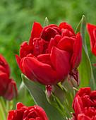 Tulipa 'Double Multi Redmar'