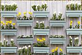 Kästen mit weißen und gelben Tulpen am Sichtschutzzaun