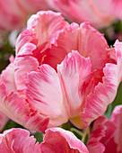 Tulipa 'Silver Parrot'