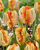 Tulipa 'Parrot King'