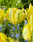 Tulipa 'Yellow Madonna' ®