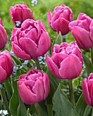 Tulipa 'Double You'