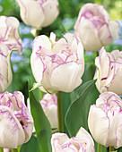 Tulipa 'Double Shirley'