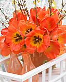 Tulipa 'American Dream', 'Daydream'