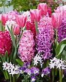 Frühlingsbeet mit Tulpen, Hyazinthen, Blausternchen und Hornveilchen