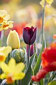 Tulpen und Narzissen im Beet