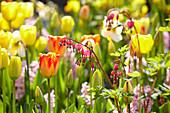Tulpen und Tränendes Herz im Beet