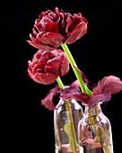 Tulipa 'Nachtwacht'