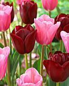 Tulipa 'Mistress', 'National Velvet'
