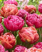 Tulipa 'Amazing Grace', 'Copper Image'