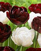Tulipa 'Uncle Tom', 'Mount Tacoma'