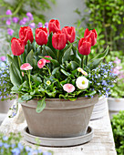 Tulipa 'Dean'