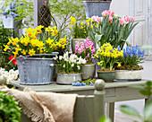 Topf - Arrangement mit Narzissen, Tulpen, Traubenhyazinthen und Hyazinthen