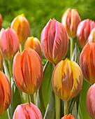 Tulipa 'Princess Mix'