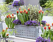 Tulpen, Spindelstrauch 'White Spire' und Glockenblumen in Kasten und Töpfen