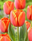 Tulipa 'Ad Rem'