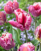 Tulipa 'Cracker Parrot'