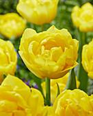 Tulipa 'Double Trouble'
