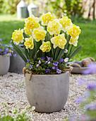 Narcissus 'Bonaire'