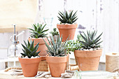 Topf Arrangement mit Aloe und Haworthia
