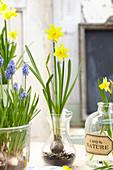 Muscari, Narcissus 'Tete a Tete' in Gläsern