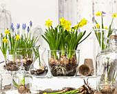 Narcissus 'Tete a Tete' und Muscari in Gläsern