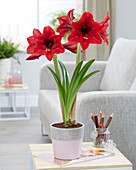 Hippeastrum 'Arabian Night'