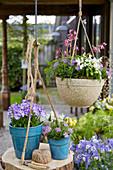 Hängendes Frühlings-Arrangement mit Hornveilchen und Herzblume