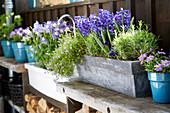 Frühlings-Arrangement mit blauen Blüten: Hyazinthen, Akelei