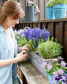 Frühlings-Arrangement mit blauen Blüten: Hyazinthen, Akelei, Frau erntet Rosmarin