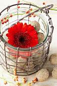 Rote Gerbera Blüte im Drahtkorb