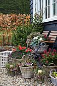 Terrasse im Spätherbst mit Knospenheide und Skimmien in Körben