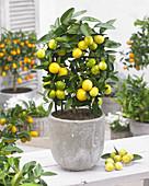 Citrofortunella floridana