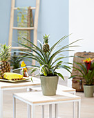 Zier-Ananas im Topf