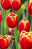 Tulipa 'Flying Dragon'