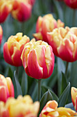 Tulipa 'Double Focus'