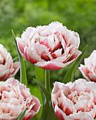 Tulipa 'Double Crystal'
