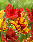 Tulipa 'Flaming Parrot', 'Garden Fire'