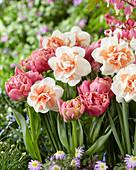 Narcissus 'My Story', Tulipa 'Adore'
