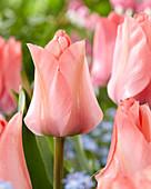 Tulipa 'Queenstown'