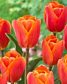 Tulipa 'King's Orange'