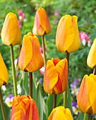Tulipa 'Beauty of Apeldoorn'