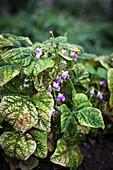 Flowering pea plants