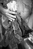 Hand hält frische Mangoldblätter