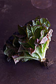 Bunch of ripe fresh lettuce leaves with dirty roots placed on gray tabletop