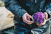 Person holding freshly harvested purple cauliflower